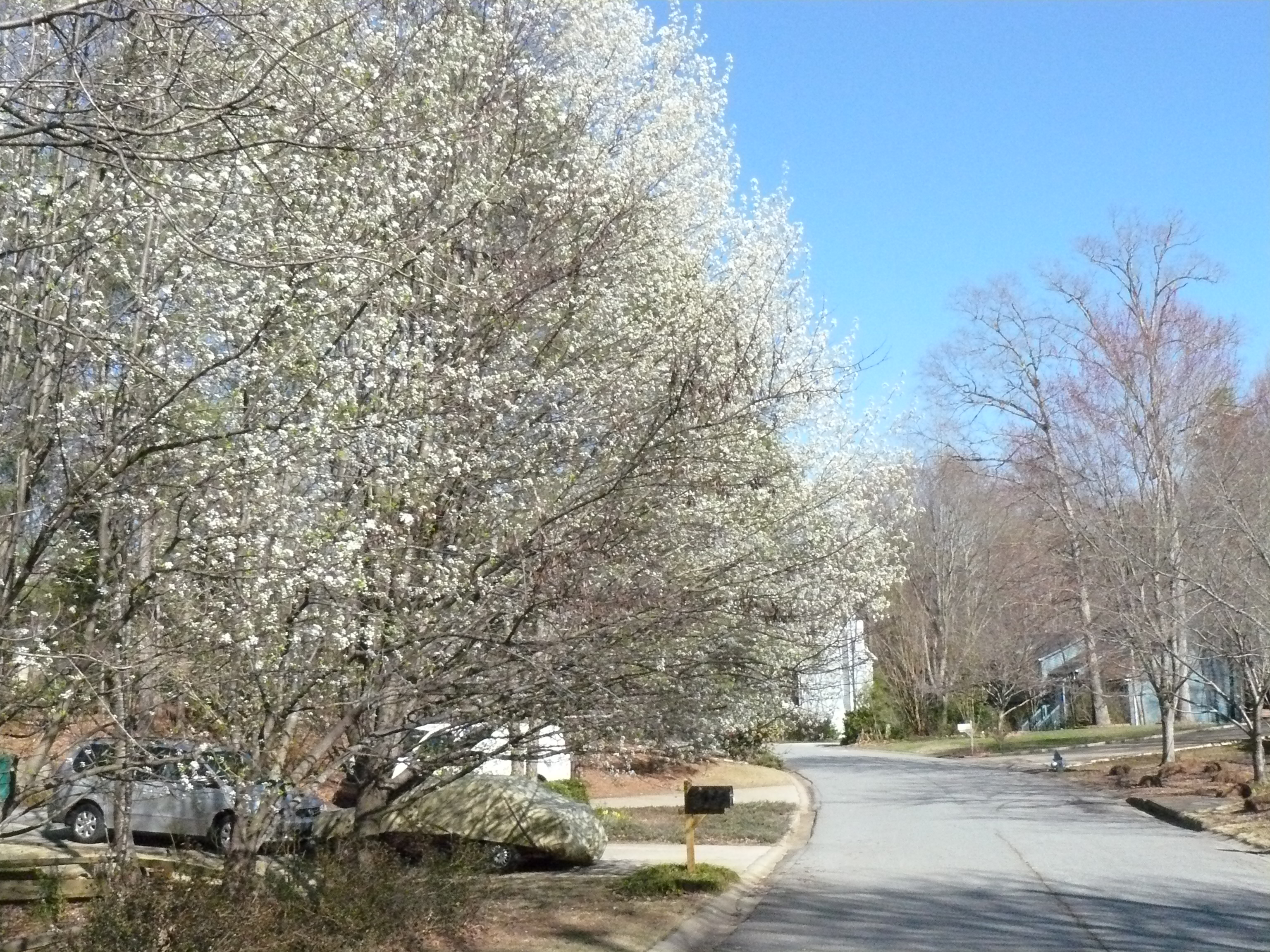 Bradford pear trees a foreclosure don mcclellan 39 s half a Bradford pear